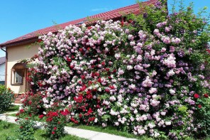 Cu rabdare va puteti amenaja o pergola cu trandafiri pentru casa